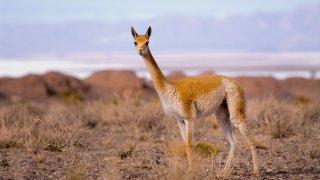 vicuña vigogne salta vallées calchaquíes
