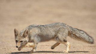 talampaya renard gris faune la Rioja voyage argentine