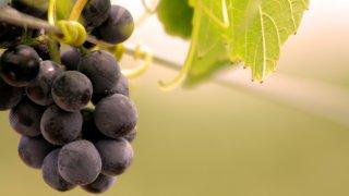 mendoza uva raisin cave voyage argentine