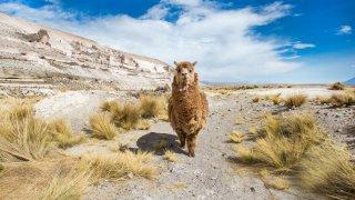 Lamas, La Puna agence de voyage Salta