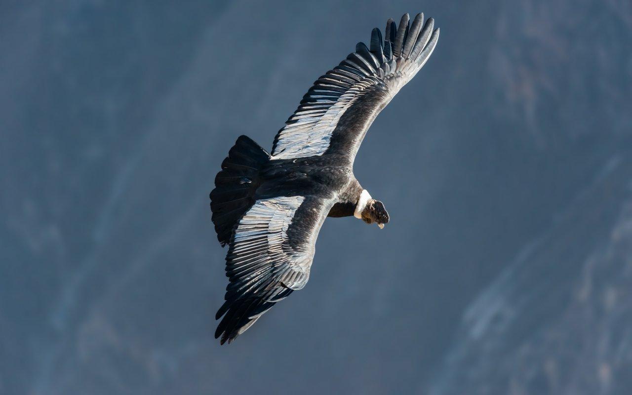 condor - voyage terra altiplano