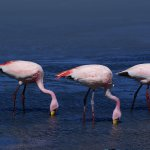 Flamants roses Lagune Santa Maria - voyage terra altiplano