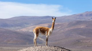 vigogne - terra altiplano voyages