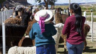 faune nord ouest lamas voyage salta argentine