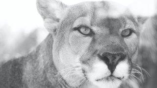 Puma faune voyage argentine