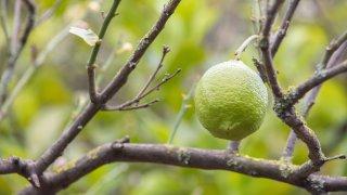 citron argentine nord-ouest