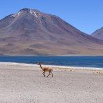 vicuña faune argentine voyage