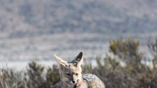 renard gris faune argentine voyage salta